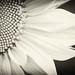 Sunflowers_002