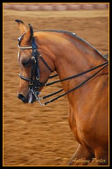 Magnificent Arabian from the Scottsdale Arabian Horse Show (davidanthonyporter) Tags: arizona scottsdale arabianhorse picnik scottsdalearabianhorseshow