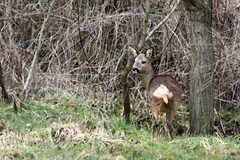 Roe Deer (Barsch28) Tags: life wood winter wild brown cold nature animal forest canon eos grey march spring bush wildlife natur deer hedge bushes roe brrr hunsrck sigma70300 idaroberstein 1000d