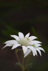 Peek-A-Boo (klr1818.) Tags: white flower green leave spider blossom flannel aplusphoto flickrchallengegroup citrit goldstaraward