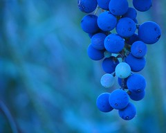 Malbec azul (.el Ryan.) Tags: argentina wine bokeh may mendoza grapes vino malbec uvas