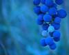 Malbec azul (.el Ryan.) Tags: argentina wine bokeh may mendoza grapes vino malbec uvas