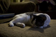 Lily in Dark Sleeping on Chair (jsebooth) Tags: cats cute animals kitties