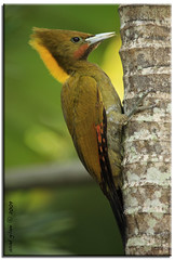 Yellow Naped Woodpecker (iCamPix.Net) Tags: china usa india nature birds animals asian woodpecker asia flickr florida miami wildlife award explore camouflage fl srilanka fav himalaya favourite soe cuckoo mostviewed cubism naturesfinest easternjava canon100400mmf4556lis exoticbirds supershot asianbirds 8962 miamidadecounty specanimal platinumphoto birdsofasia picusflavinucha greateryellownape mostwatched cannoneos1dsmarkiii yellownapedwoodpecker