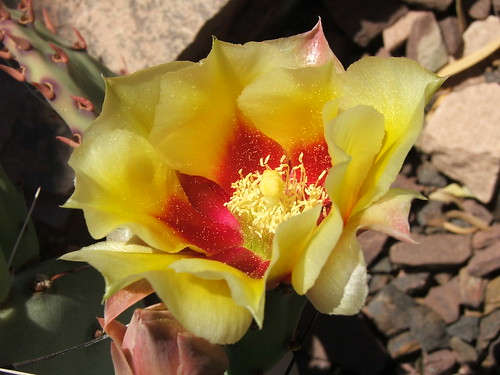 Cactus Blossom at the Desert Botanical Garden