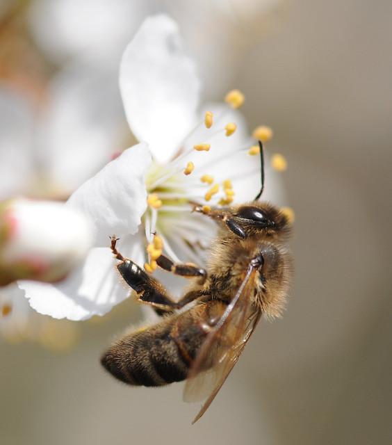 abeille or