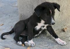 """""""Quattrocalzini"""" per AURORA  (Pashupatinath - Nepal) (nepalbaba) Tags: nepal dogs nature animals puppies natura animali pashupatinath cani cuccioli impressedbeauty nepalbaba"""