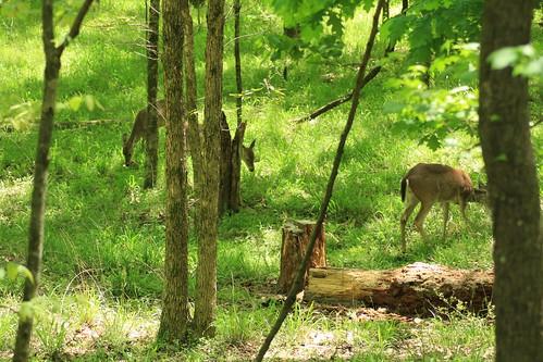 Shhhh Deer