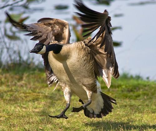Canadian Goose Landing 1