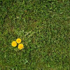the grEEnkEEper did a rather good job (Werner Schnell Images (2.stream)) Tags: green grass golf course gras golfplatz ws lwenzahn greenkeeper abigfave