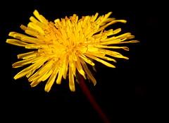 out from the dark (yellobird) Tags: flower color macro garden spring blumen dandelion löwenzahn frühjahr bej pusteplume