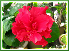 Hibiscus rosa-sinensis, a blood-red ruffled double