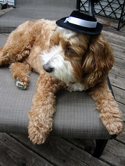 Harvey the Cockapoo Lounges on the Deck Sporting A Cool Hat (Angie Naron) Tags: dog cute canine mansbestfriend cockapoo thedude womansbestfriend dressedupdogs dogswearinghats harveythecockapoo