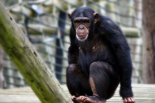フリー画像| 動物写真| 哺乳類| 猿/サル| チンパンジー|       フリー素材|