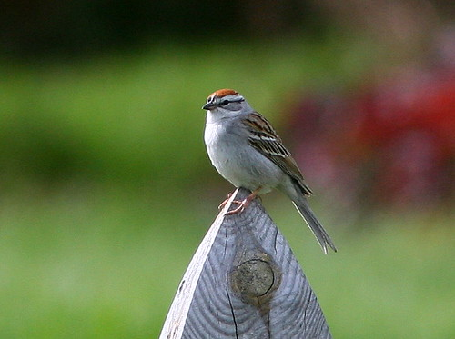 Chipping Sparrow 20090510