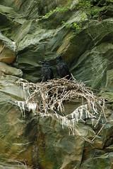 Ravens Nesting (A. Drauglis) Tags: cliff virginia sticks nest nps pair ravens guano nesting skylinedrive shenandoahnationalpark corvuscorax snp commonraven southdistrict