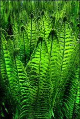 Ferns (angus clyne) Tags: green forest spring oak ferns dunkeld birnam verygreen