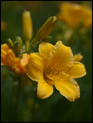 Madrid- Paseo del Prado II (mgarsan) Tags: madrid iris flower macro primavera yellow spring flor lirio e3 botanicgarden zuiko printemps jardínbotánico uro 50mmf2 lirium