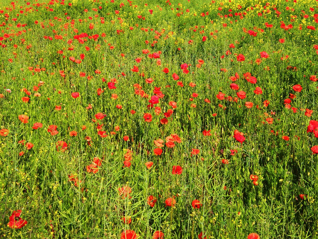 Common Poppy,- Oilseed Rape,... 002