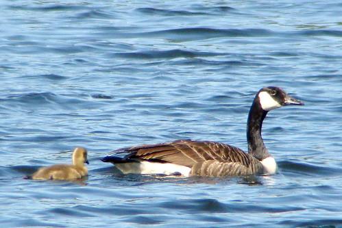 foss goose gosling2