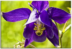 Columbine / Akelei (Thomaniac) Tags: plant flower macro green closeup canon eos flora bokeh natur pflanze violet lila columbine grn blume nahaufnahme twop akelei efs60mmmacro lens00025 450d thomaniac
