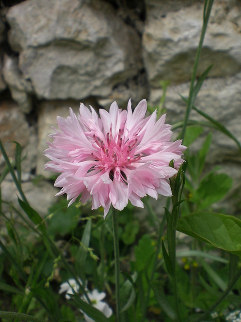 Provins // Pink centurea on the wayside