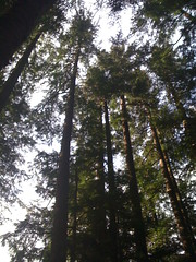 Tall Hemlocks on this route
