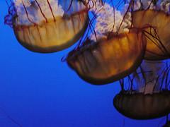 california aquarium monterey canneryrow seanettlejellies