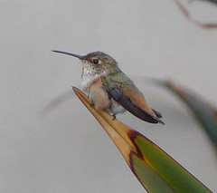 Birds of Soka - Hummingbird
