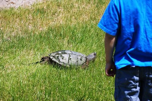 giganto turtle