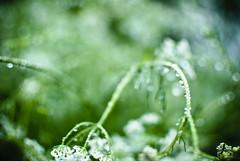 Morning dew #145/365 (A. Aleksandraviius) Tags: morning macro green nature oneaday 35mm nikon bokeh dew photoaday 365 nikkor lithuania rasa pictureaday rytas d60 lietuva project365 365days nikond60 145365 f18g 35mmf18g afsdxnikkor35mmf18g nikon35mm18g