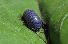 Blue Sow Bug
