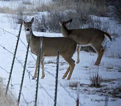 Looking Twixt The Posts (jimgspokane) Tags: wildlife deer onlythebestare excapture