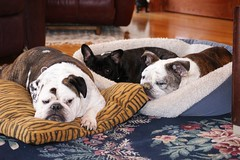 Relaxin' Bully style. (DBCoop77) Tags: dog pet english french bulldog frenchie frenchbulldog englishbulldog brindle bully bulldogs bullies abigfave