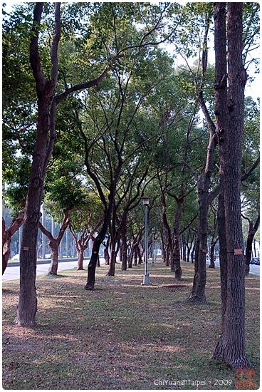 樟樹林01