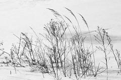A Breeze (ann j p) Tags: winter snow cold weeds grasses breeze