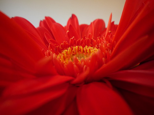 rocking red flowers 010