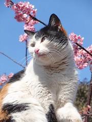 Sakura cat (tanakawho) Tags: pink blue sky plant flower eye nature animal closeup cat mouth cherry nose temple blossom small sunny whiskers ear calico tricolor creature tanakawho sakuracat