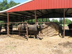 cows in the feed house (WaterBuffalo) Tags: waterbuffalo buffalosteak rainforestanimals animalsmating waterbuffalopicture waterbuffaloforsale
