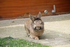 Foxy (jpockele) Tags: cute rabbit bunny bunnies nature konijn sony rabbits 200a