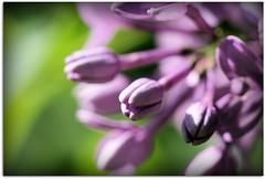 I Love Purple (scrapping61) Tags: california flowers spring explore lilac gilroy mygarden 2009 tistheseason visiongroup amazingamateur macromarvels proudshopper scrapping61 multimegashot novavitanewlife miasbest flickrenvythebesttm mmmilikeit daarklands lirodon