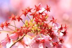 Stars (gerryboy) Tags: park flower nature japan cherry star tokyo spring colorful ueno blossoms sakura koen hanami sepals