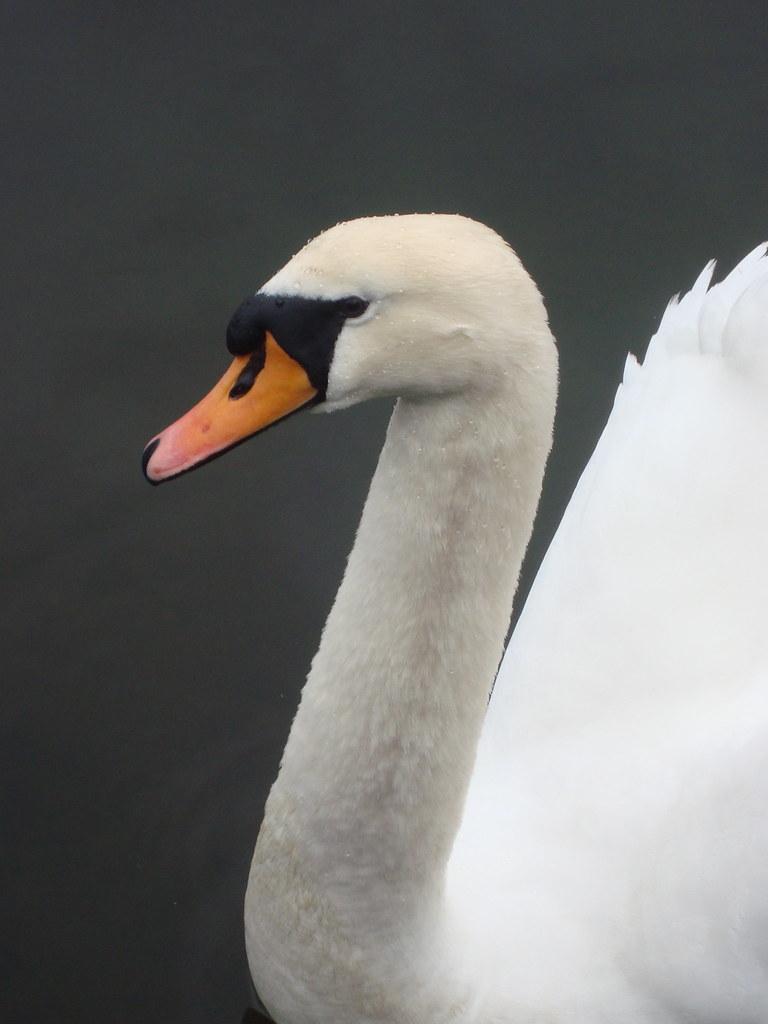 Swans at Cushendun Marina