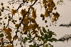 DSC_0998 (prasanthabythomas) Tags: flower kerala kanikonna