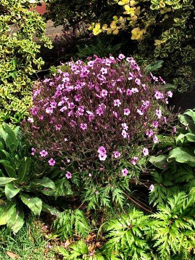 20090424-rq-Quinta da Boa Vista-2 Geranium maderense
