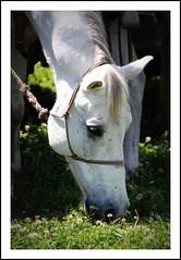 in clover (romorga) Tags: animal orlando florida cavalo mammalia hest hevonen paard hst  ko equidae chevel digitalcameraclub perissodactyla k equids equid centralfloridafair thelittledoglaughed    innoc invitationalcattlemansranchrodeo