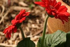 Day 123  - The Gerbera (Sharon's Shotz) Tags: red flower interestingness petal explore gerbera gerberadaisy 2009yip i500may32009381