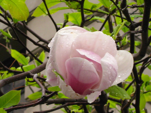 Magnolia Tree - May 9 - Raining