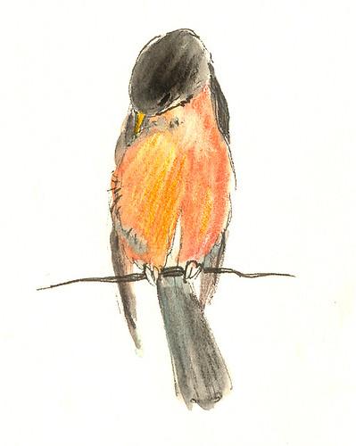 grooming robin