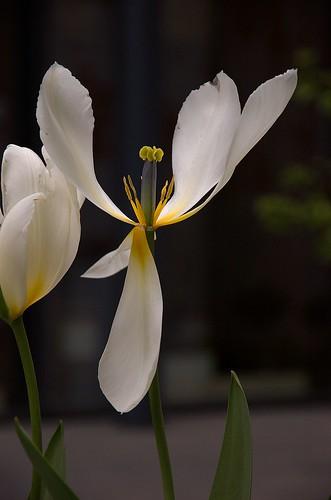 Nesten død tulipan